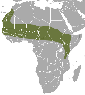 The average litter size of a Savanna path shrew is 3