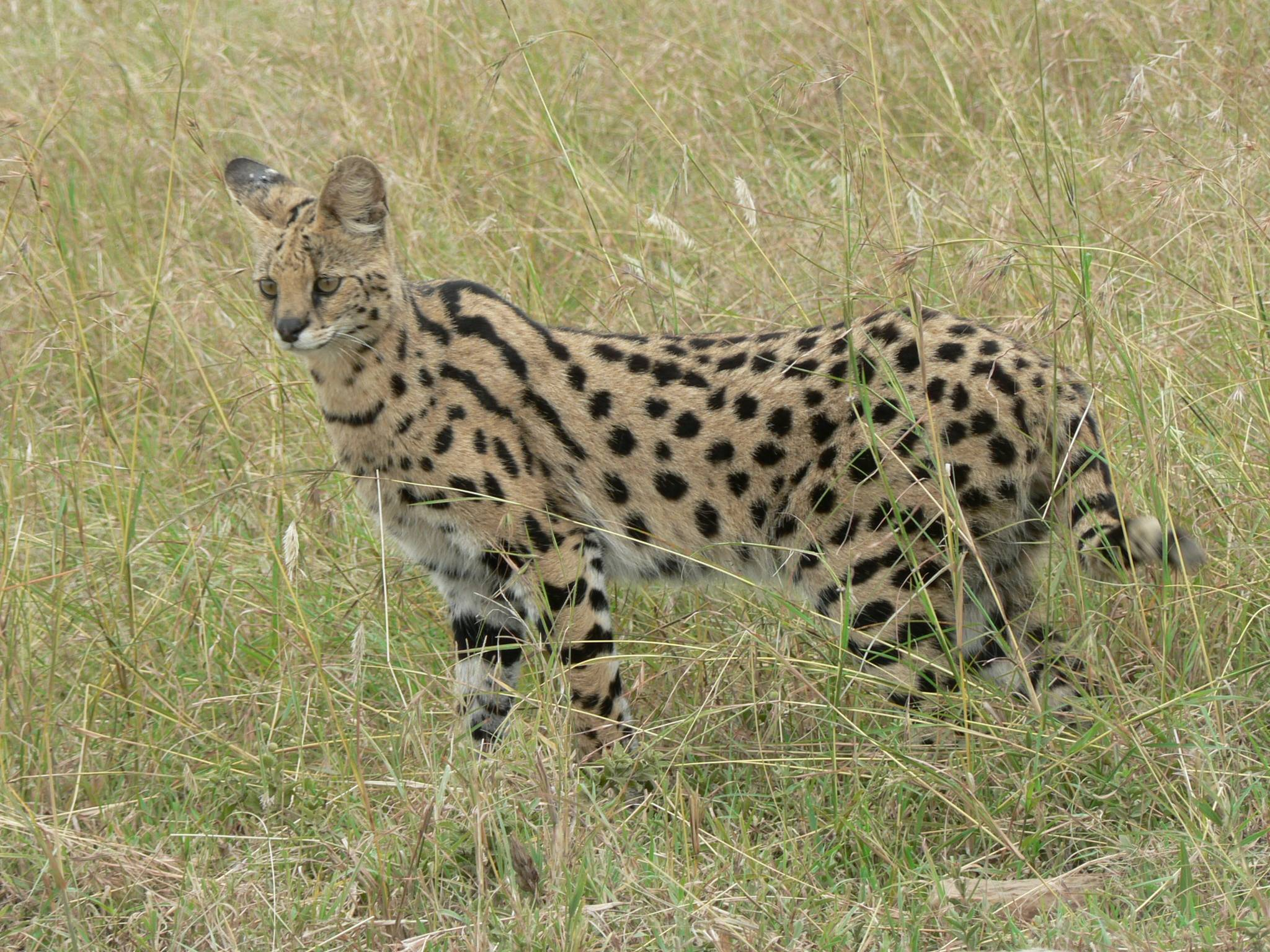 https://upload.wikimedia.org/wikipedia/commons/6/6d/Serval_in_Tanzania.jpg