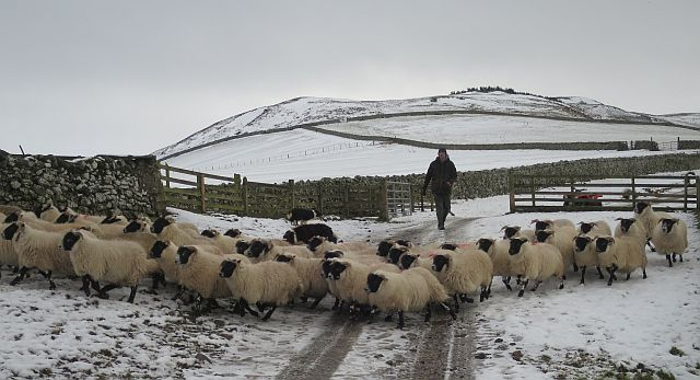 Sheep on the Move in the Cheviot Hills (geograph 5639363).jpg
