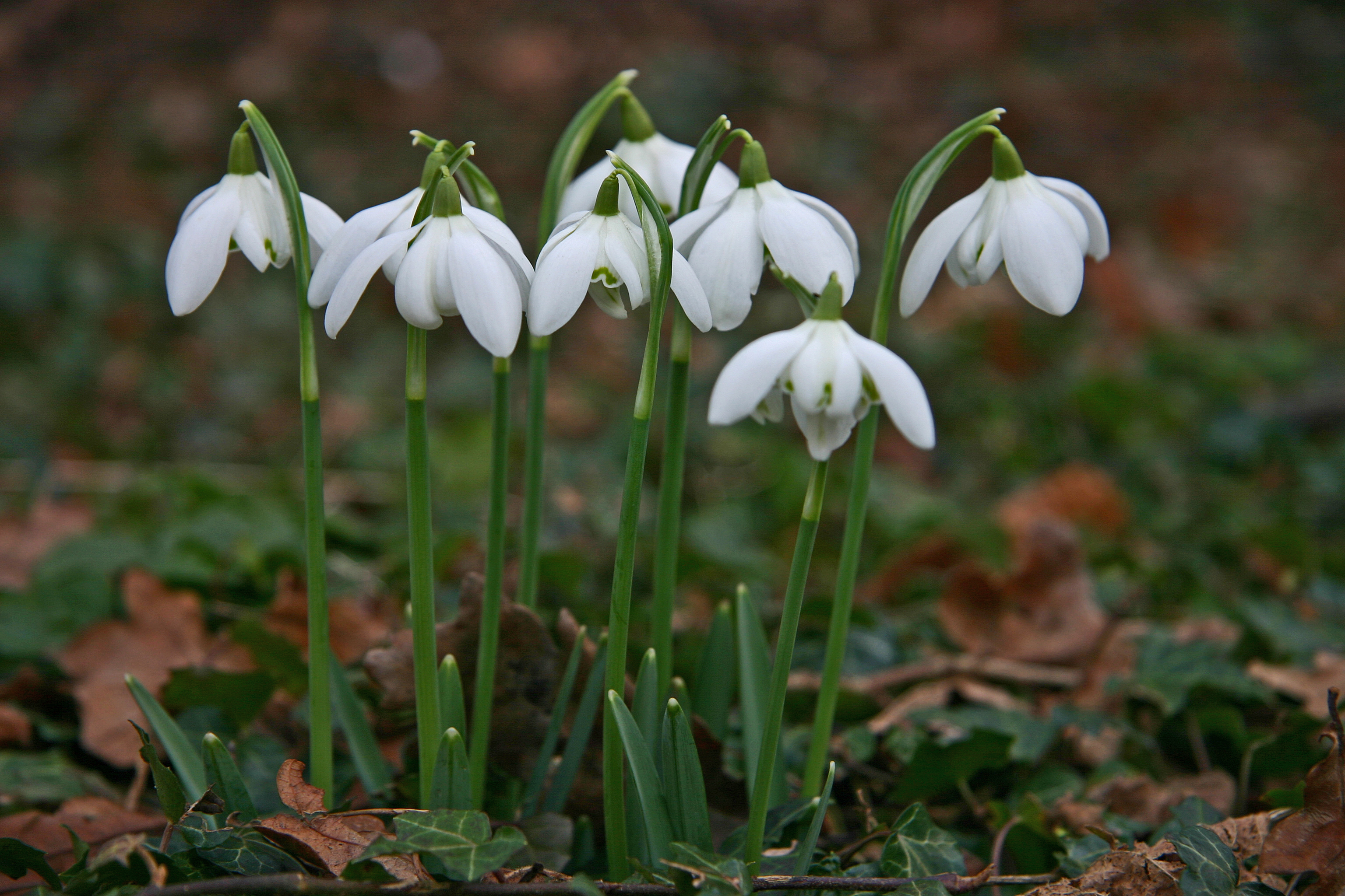 1000 images about snowdrops on pinterest for Bulbe