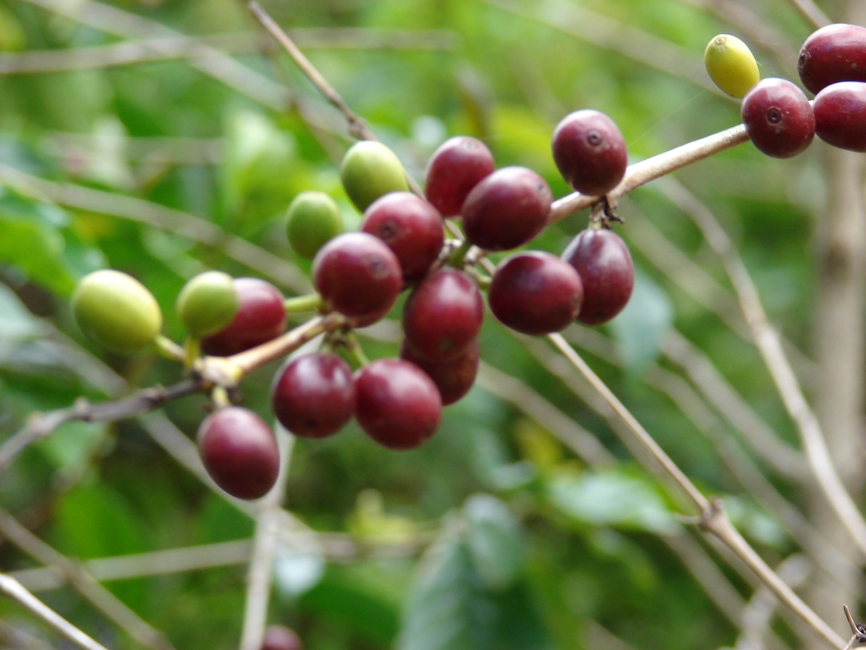 Coffea arabica k v cserje nem mag nm 1ft for Coffea arabica