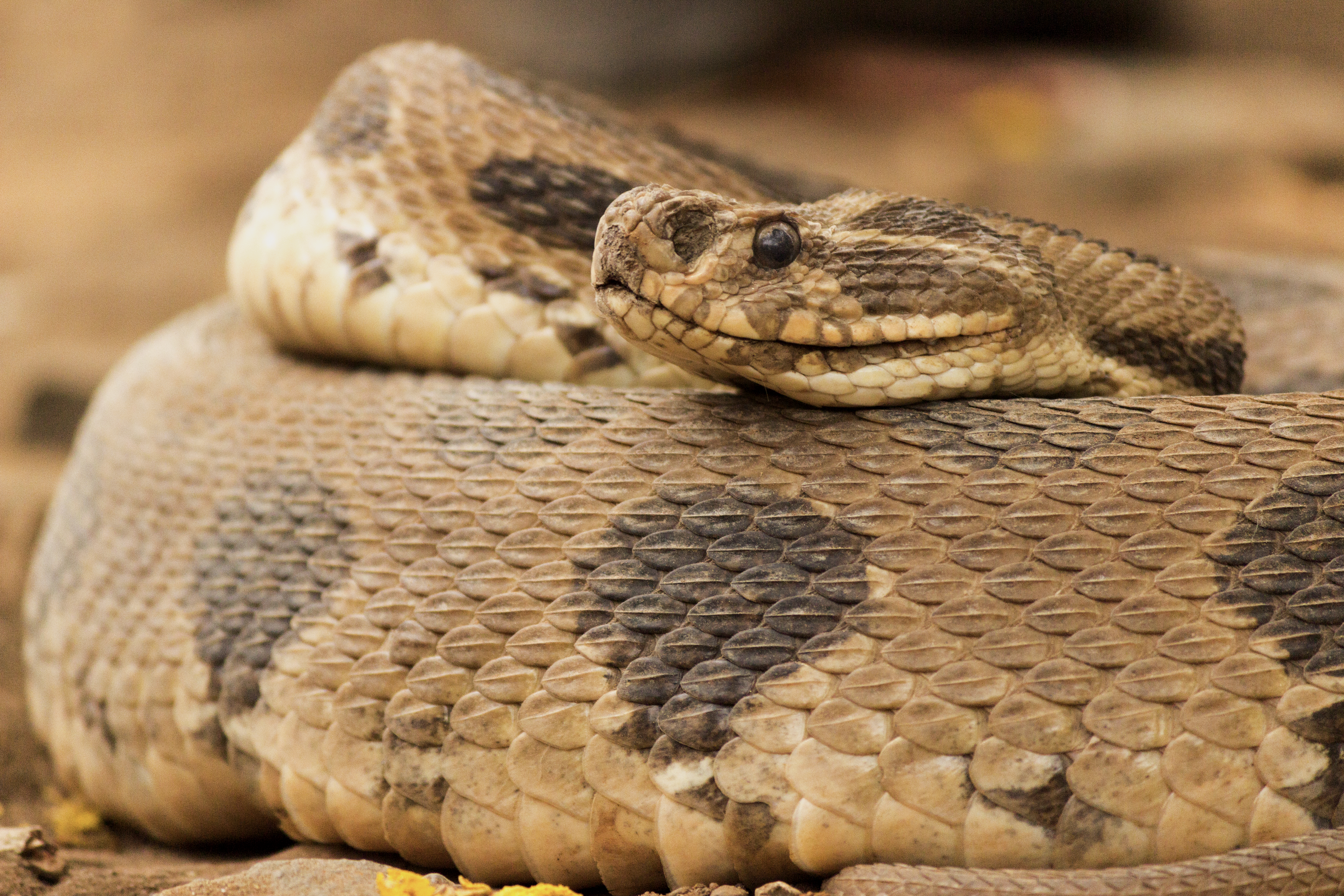 Rắn hổ mang và trăn lớn (mãng xà) được con người sùng kính và tôn thờ vì nỗi sợ hãi và những đặc tính tự nhiên của loài rắn