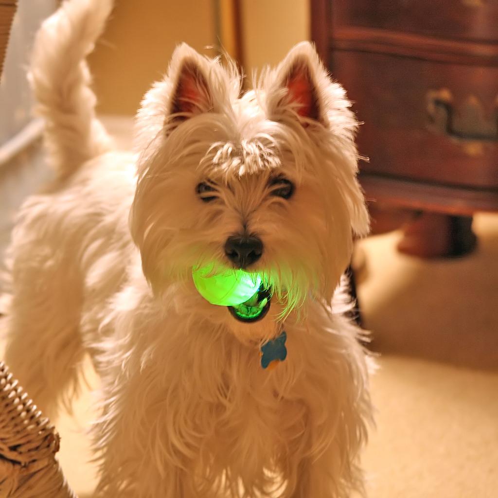 Resultado de imagen para westies dog, playing in the ball