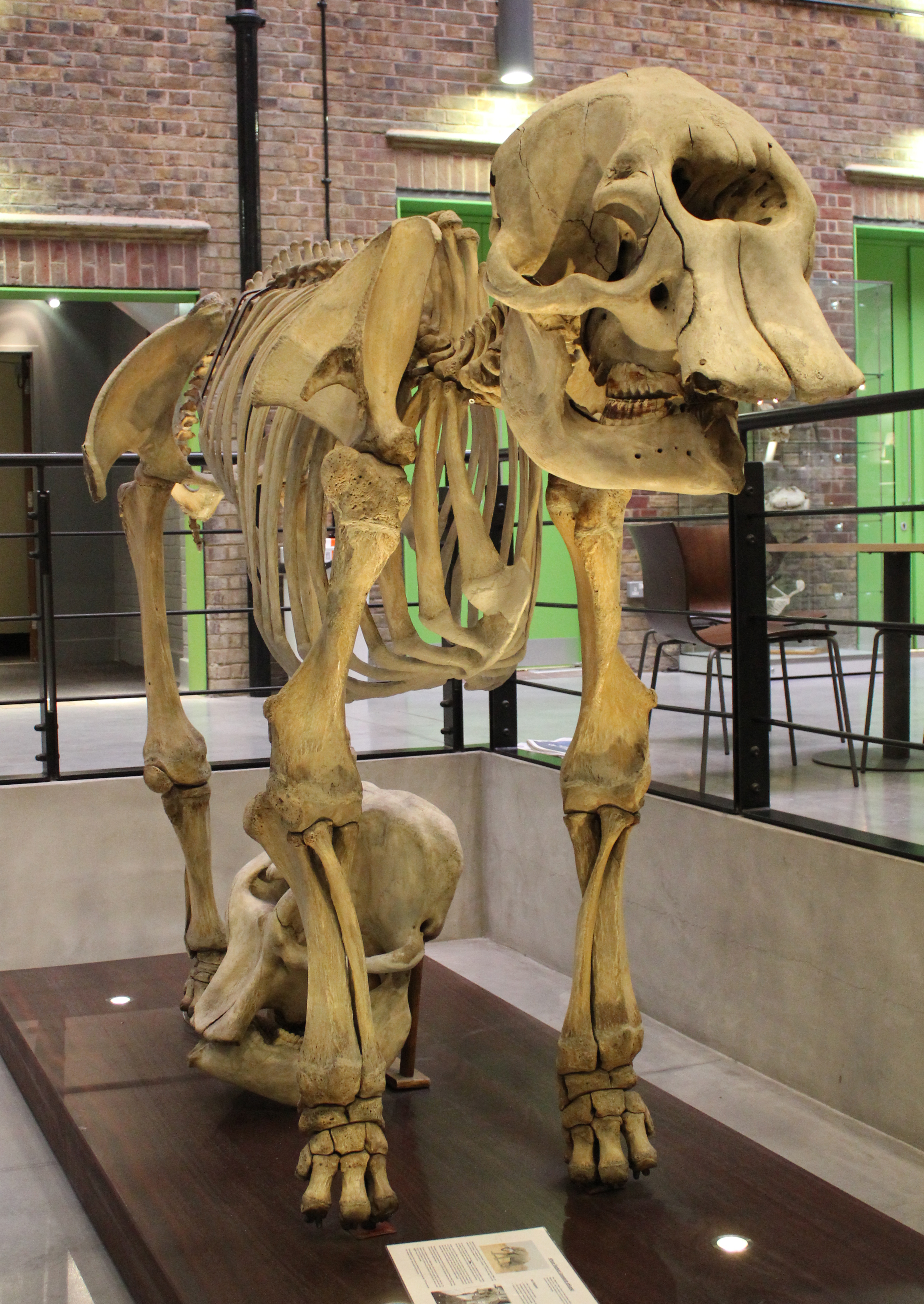 File:African elephant skeleton (2) at the Royal Veterinary College ...