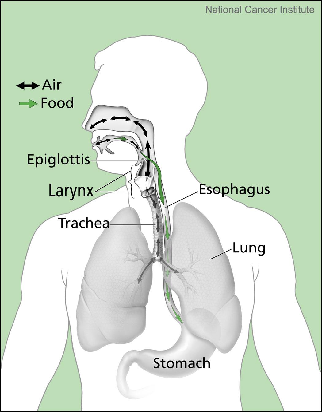 food tube diagram file air and food pathways jpg wikimedia commons  file air and food pathways jpg