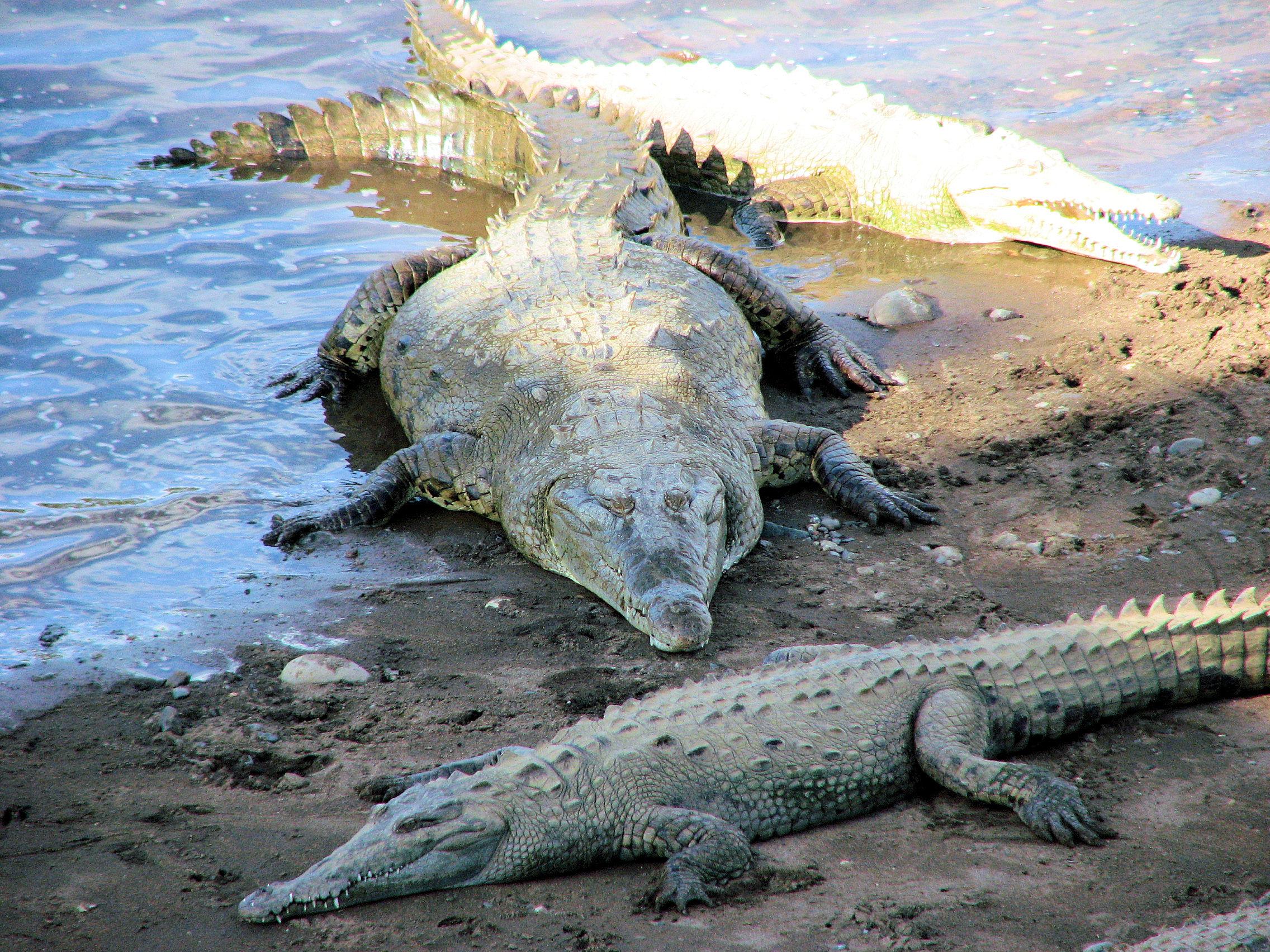 Crocodile Eats Dog Video
