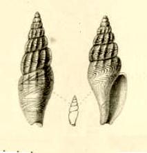 <i>Anachis kraussii</i> Species of gastropod