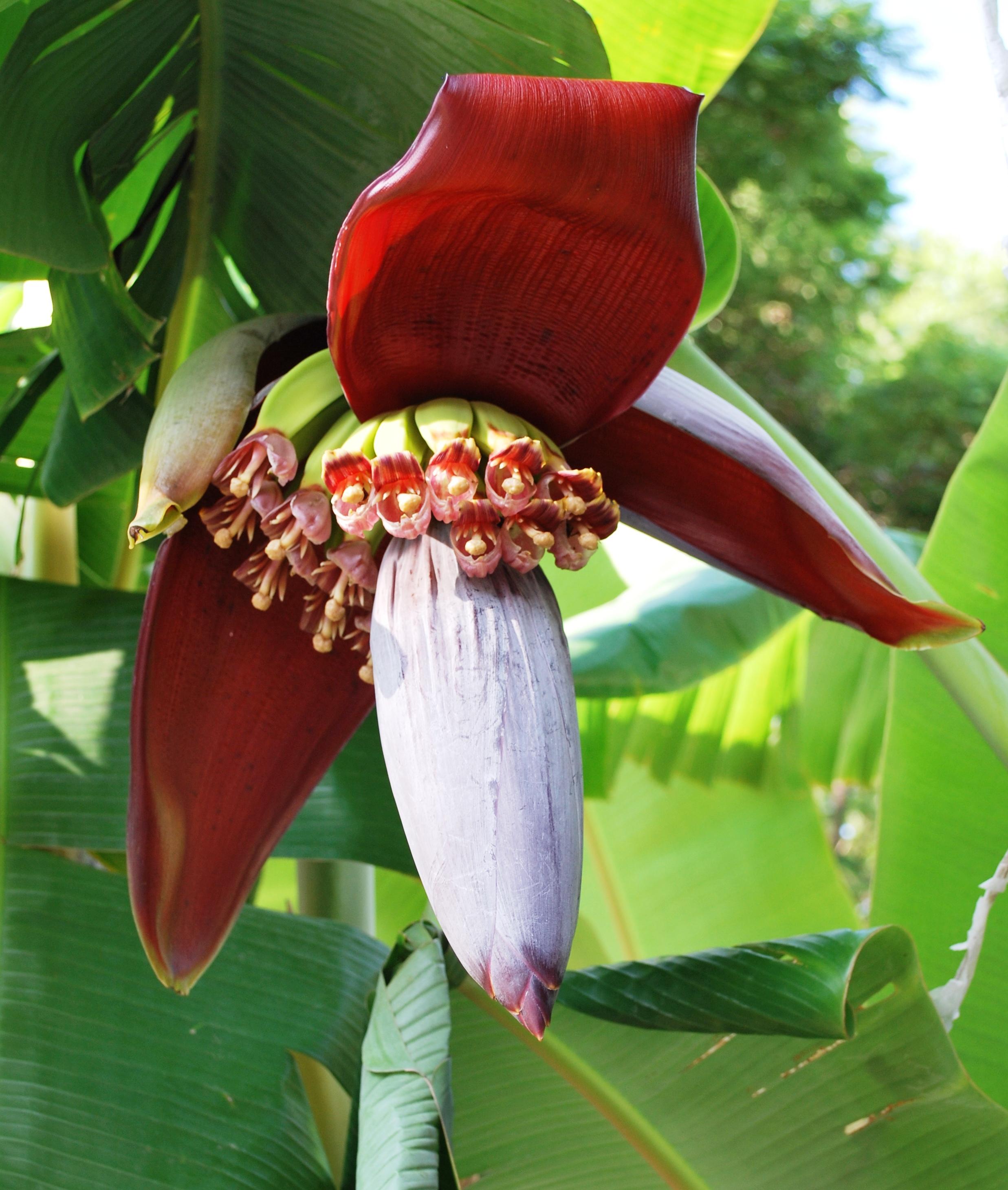File BananaFlowerOcotepec JPG Wikimedia mons