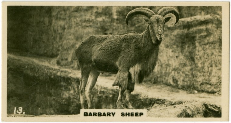 File:Barbary Sheep 2 (ca 1919-1940).jpg - Wikimedia Commons