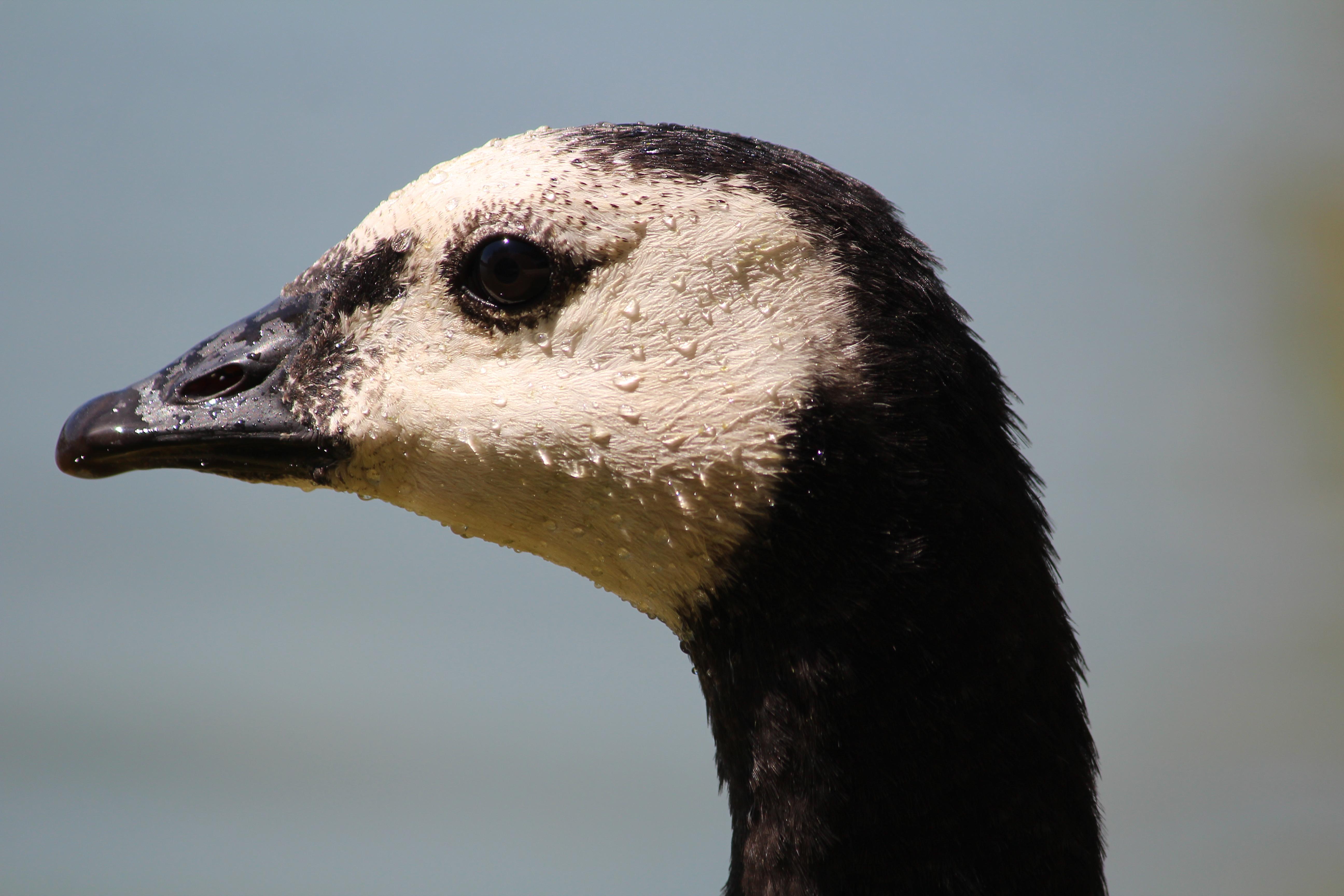 canada goose parka wikipedia