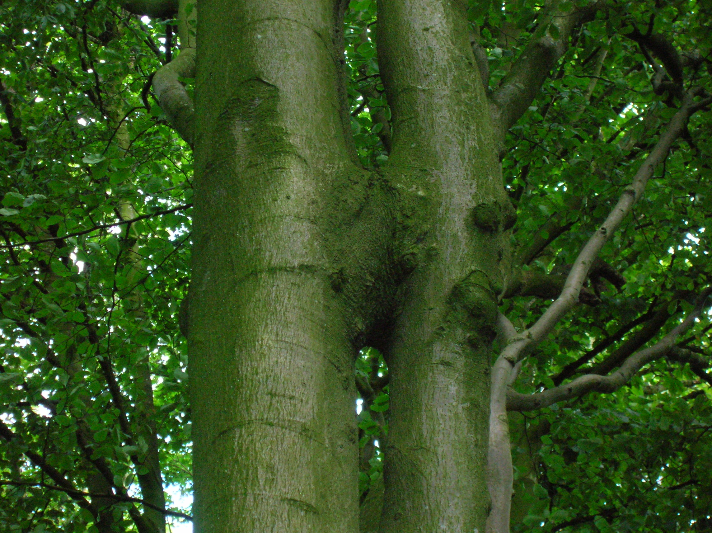 File beech tree trunk inosculation jpg wikipedia for Tree trunk uses