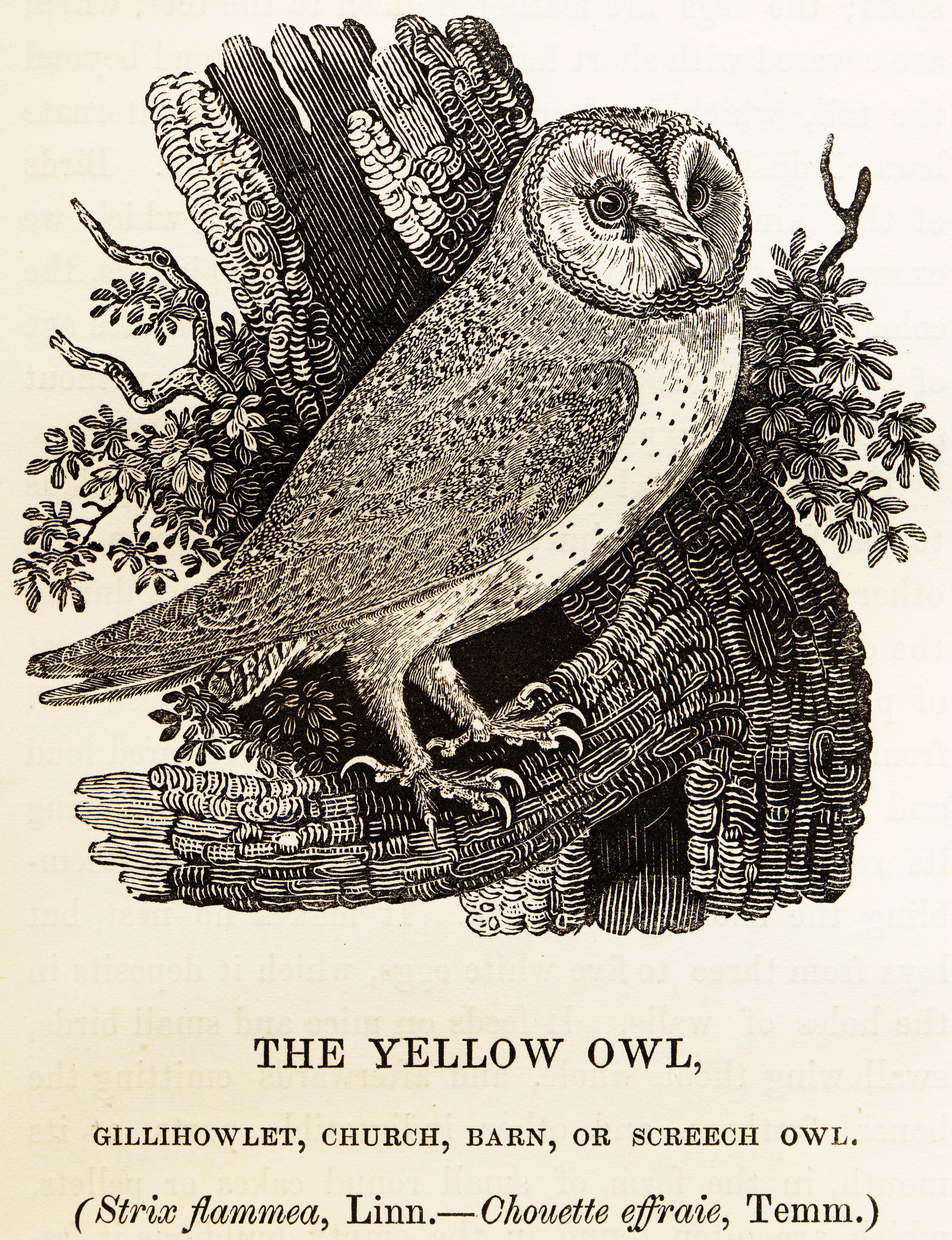 http://en.wikipedia.org/wiki/File:Bewick_Thomas_Barn_Owl_Tyto_alba.png