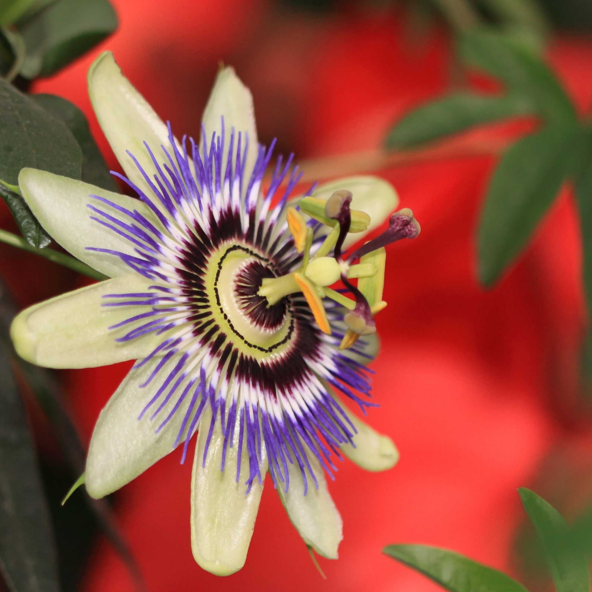 Fileblue Passion Flower Passiflora Caerulea 3483173321g
