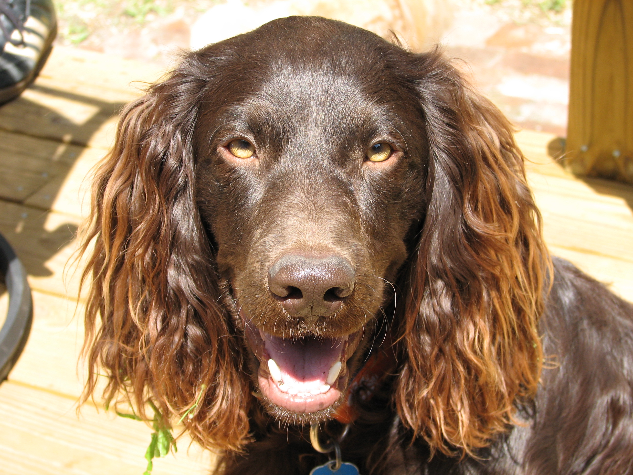 Description Boykin spaniel.jpg