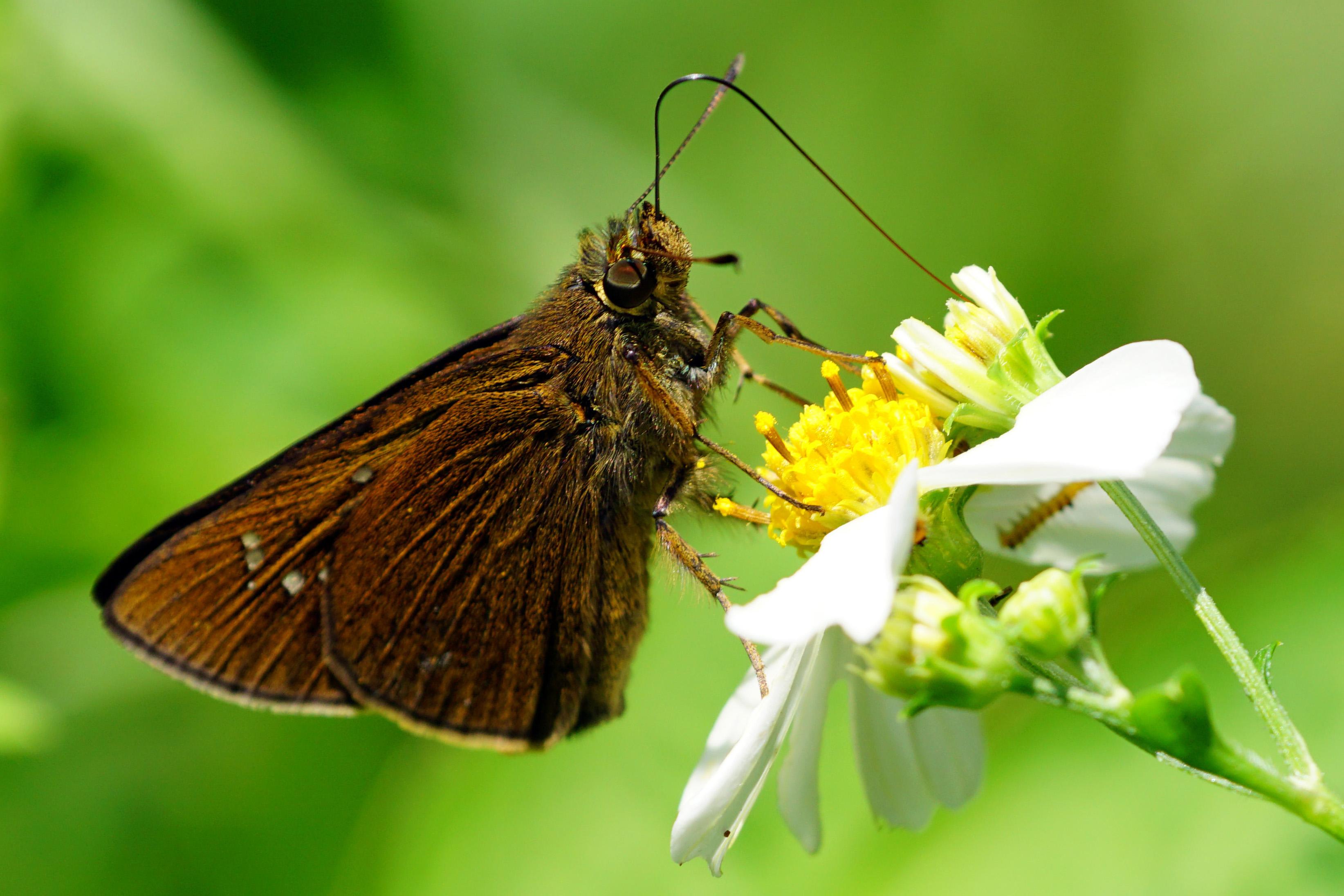 La farfalla che trasforma il cibo solido in liquido.
