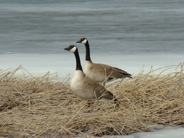 Canada Geese (8457047342)