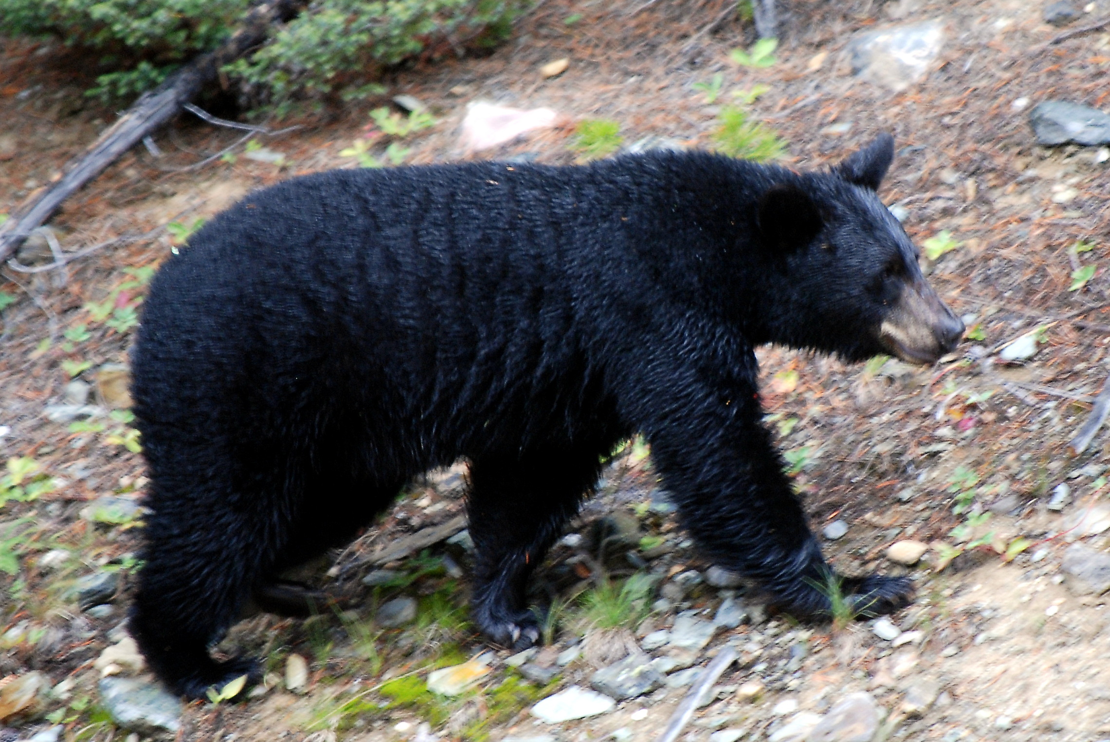 Video: Beware of predatory male black bears - photo#38