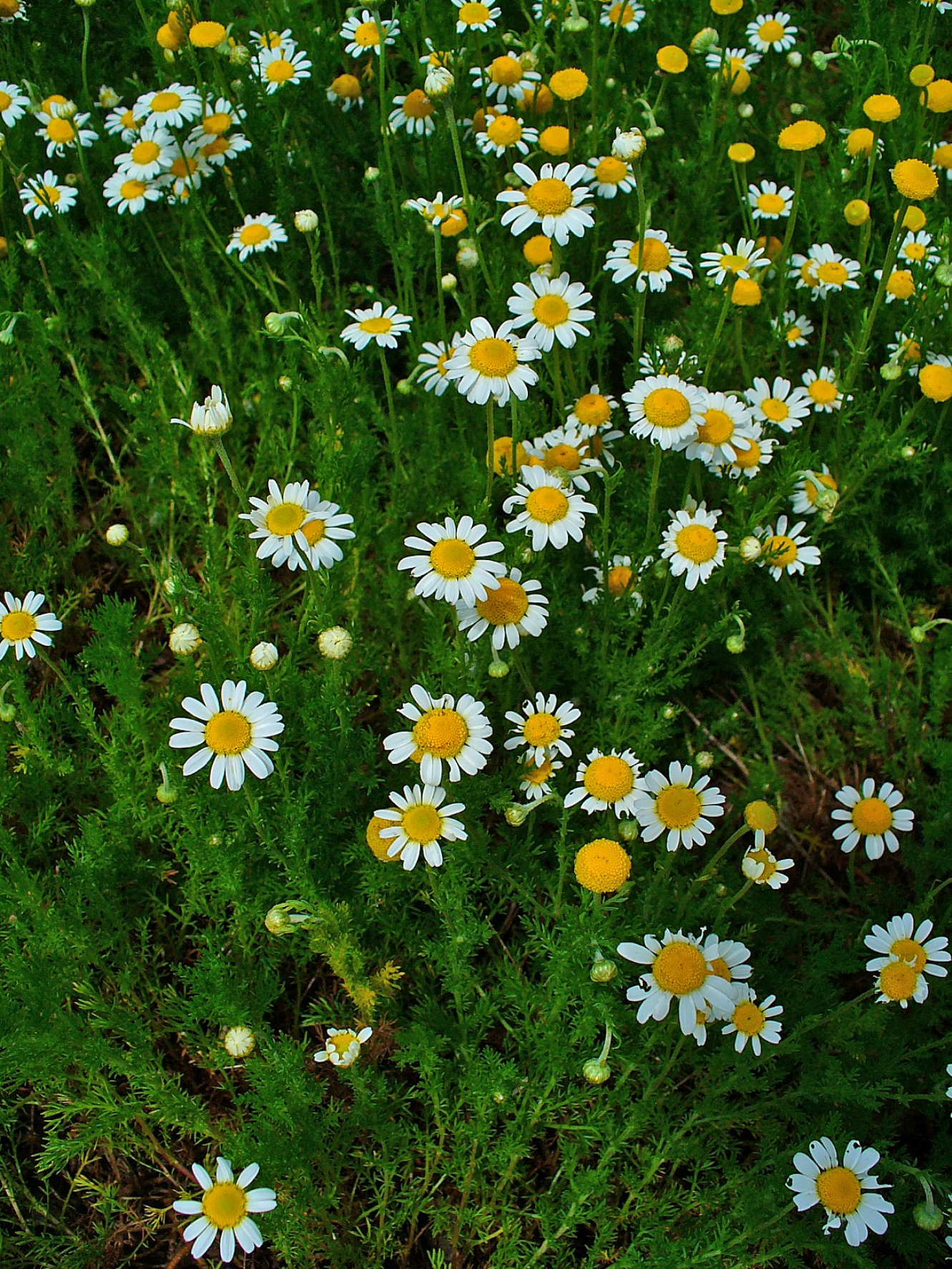 how to make chamomile tea from fresh leaves