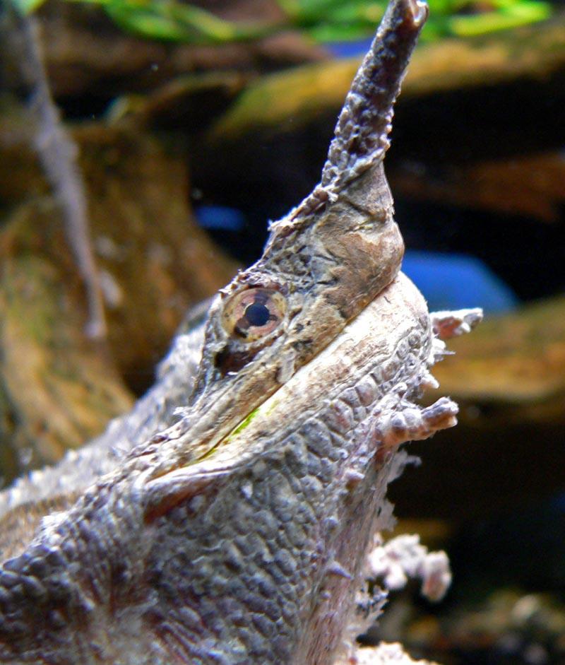 Chelus fimbriatus close.jpg