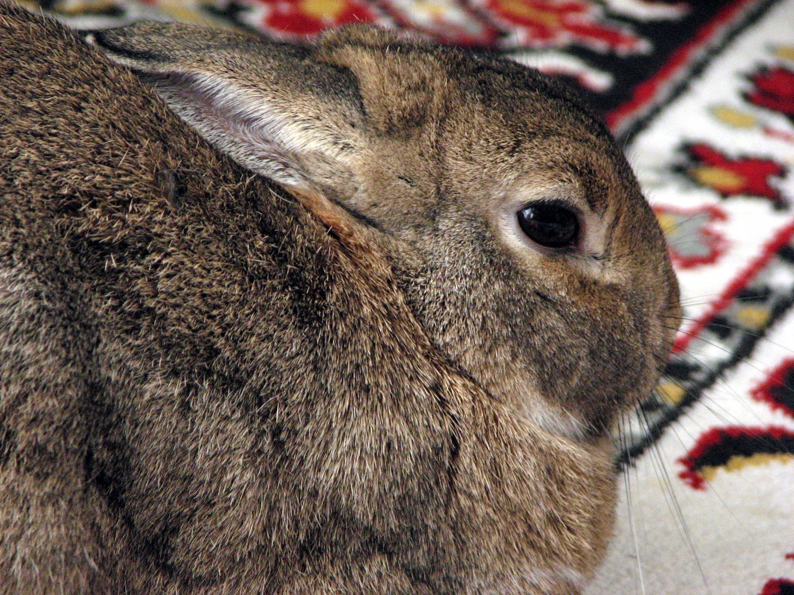file domestic rabbit lilly side 0a     wikimedia commons