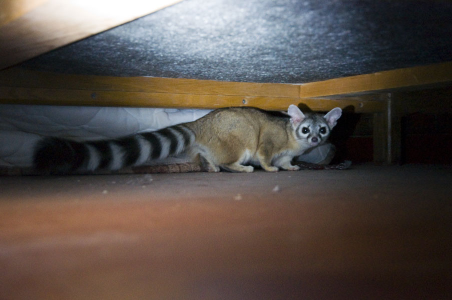 how do i remove cat urine smell from hardwood floors