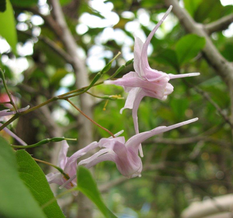 Epimedium Grandiflorum Wikipedia