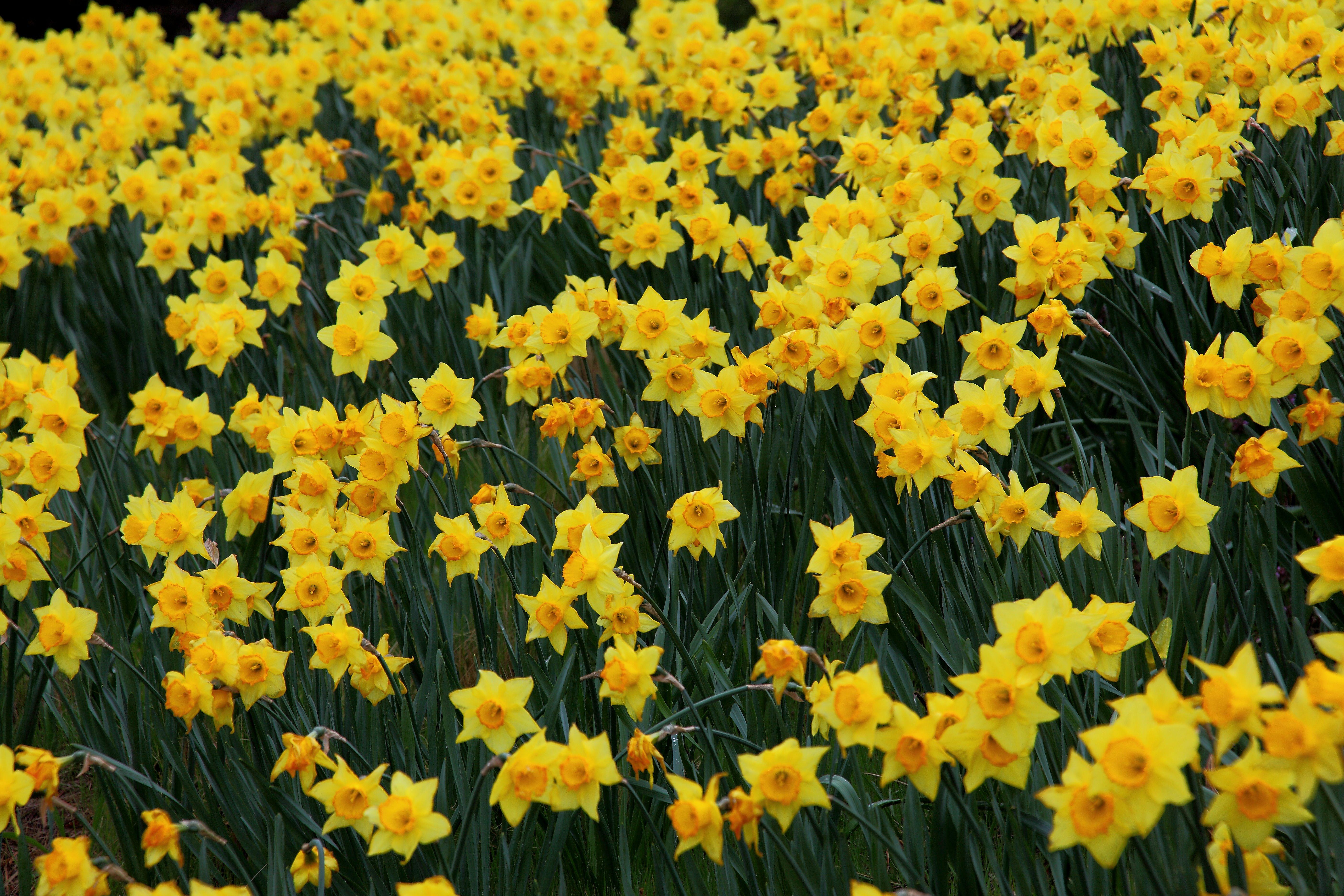 Filefield Yellow Daffodil Flowers West Virginia Forestwander