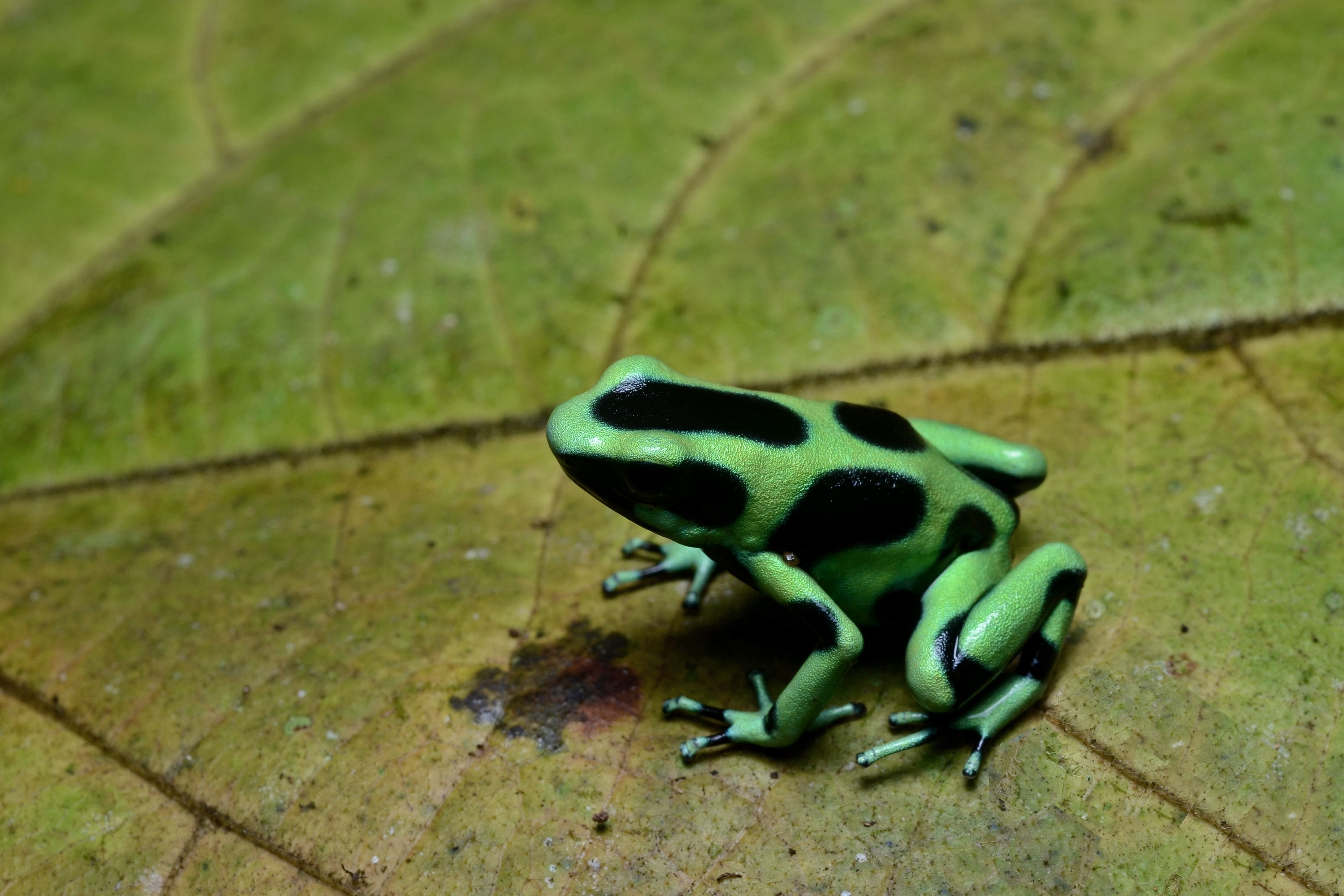 File:Flickr - ggallice - Green and black poison dart frog ... Green Frogs Poisonous