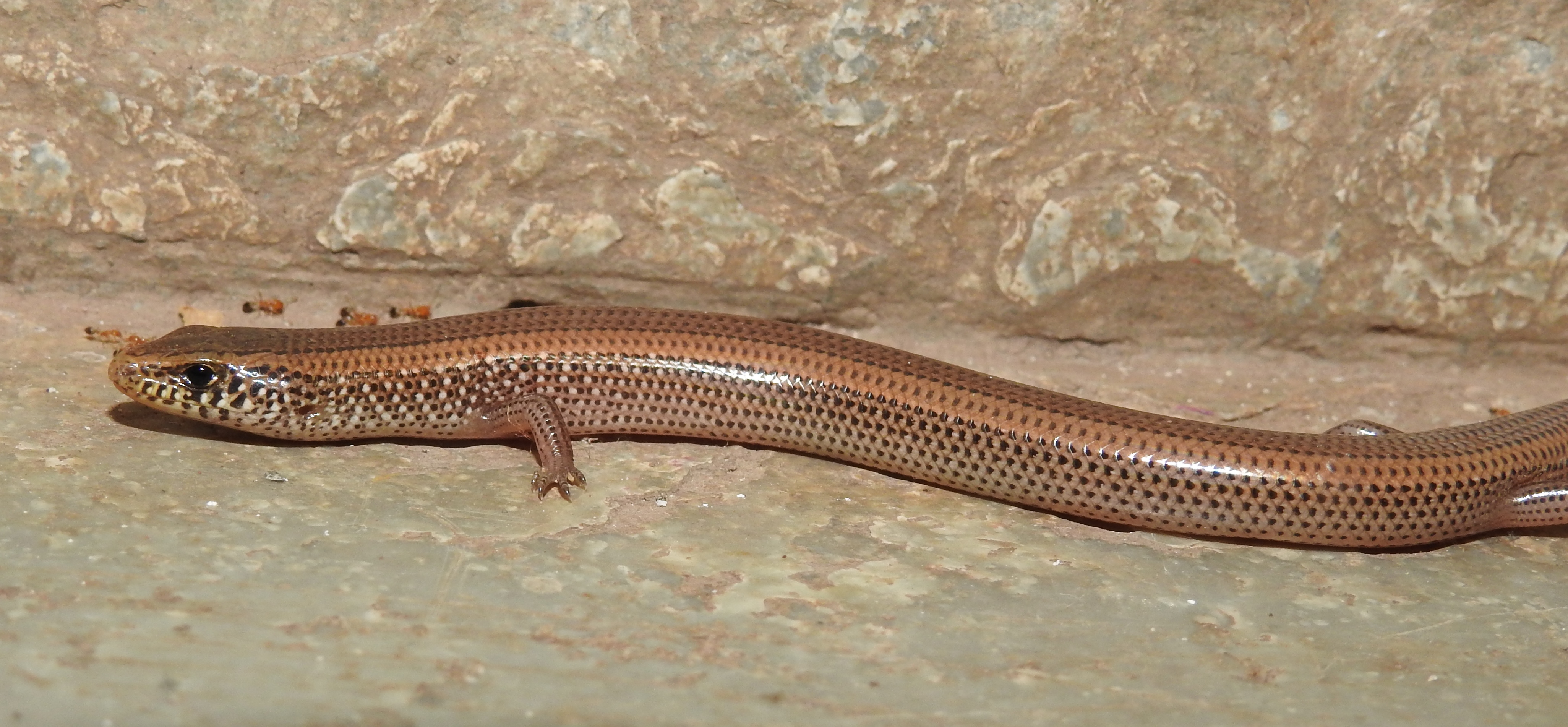 File:Günther's Writhing Skink Lygosoma guentheri by Dr  Raju