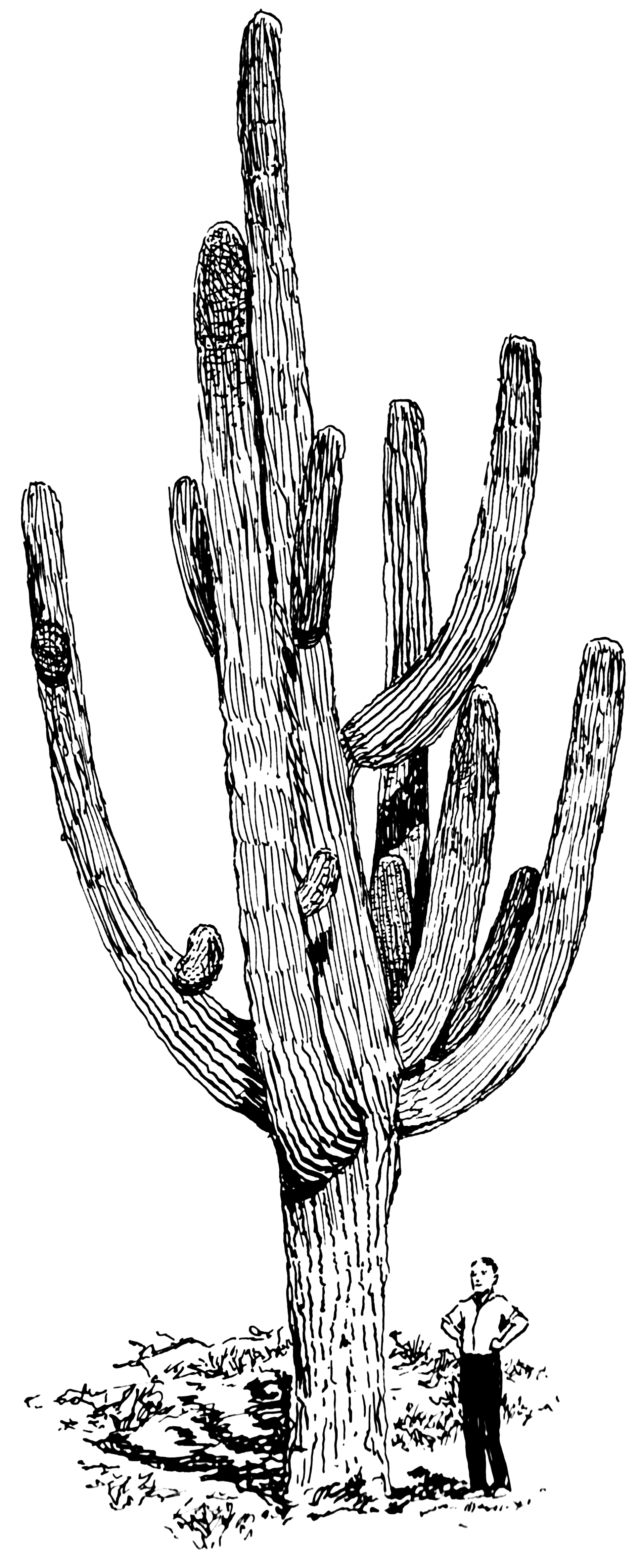 Line Drawing Cactus : File giant cactus psf wikimedia commons
