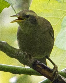 Giant White-eye Palau Greater White-eye Megazosterops palauensis photographed on Peleliu on 08 June 2013 by Devon Pike.jpg