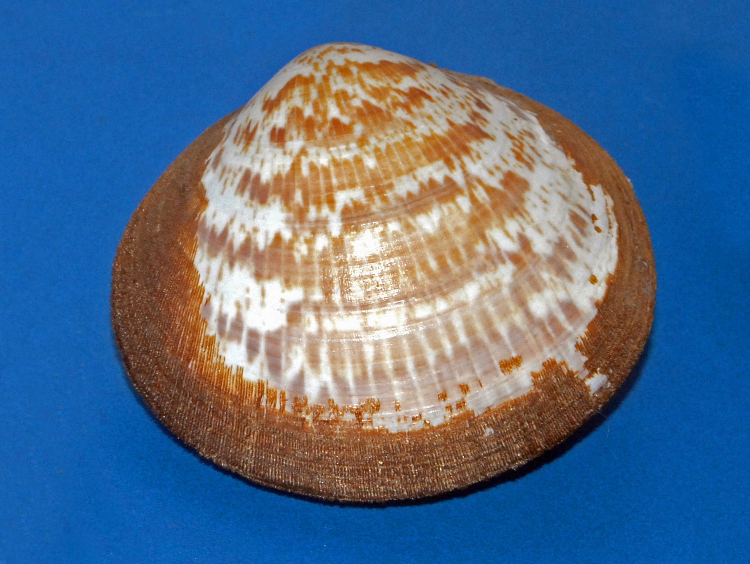 Glycymerididae - Glycymeris vestita.JPG © Hectonichus