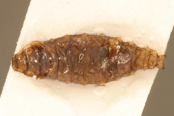 File:Helaeomyia.petrolei.larva.-.sbmnh.jpg