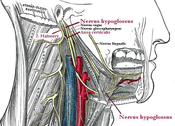 Nervus hypoglossus – Wikipedia