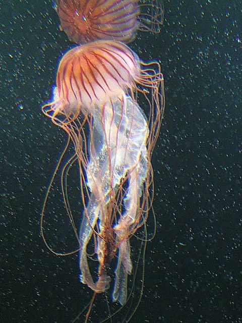 Scyphozoa - Wikispecies
