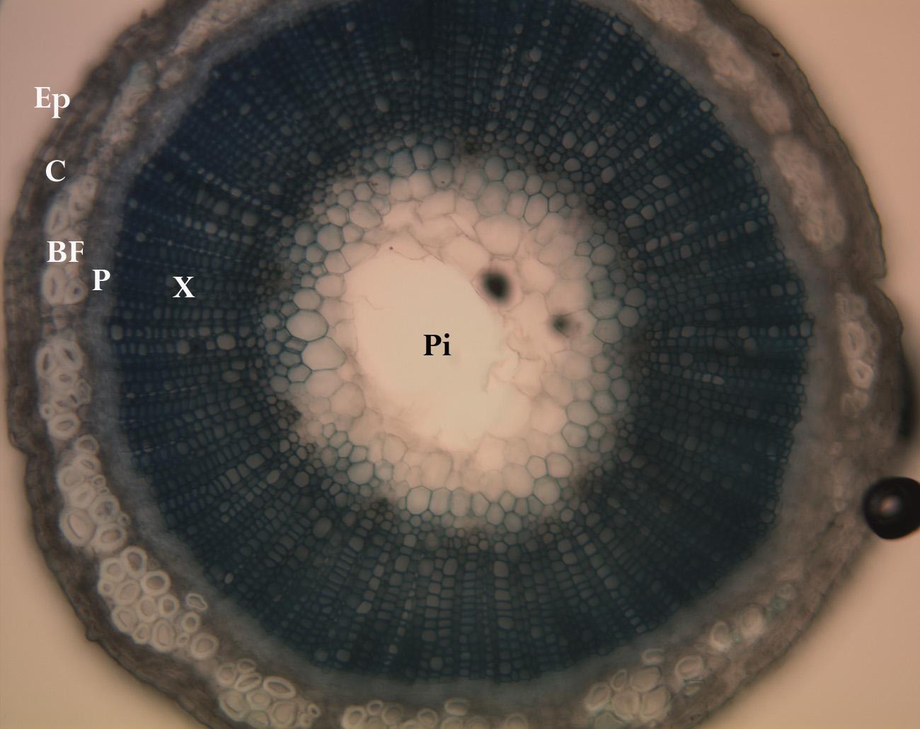 temcross-section,showinglocationsofunderlyingtissuespepidermisbotanyepidermiscortexbastfibersphloemxylemipith
