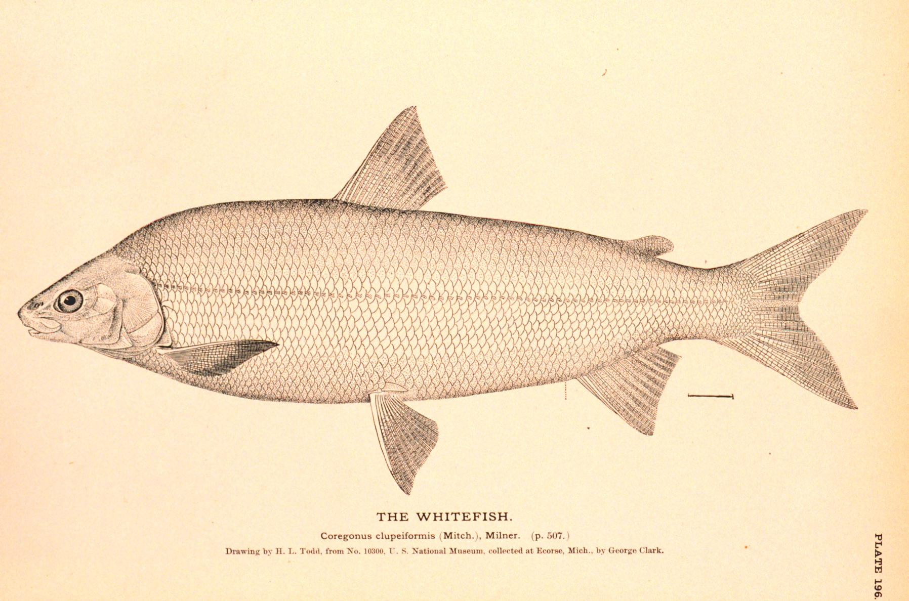 File lake whitefish wikimedia commons for Fish delivery near me
