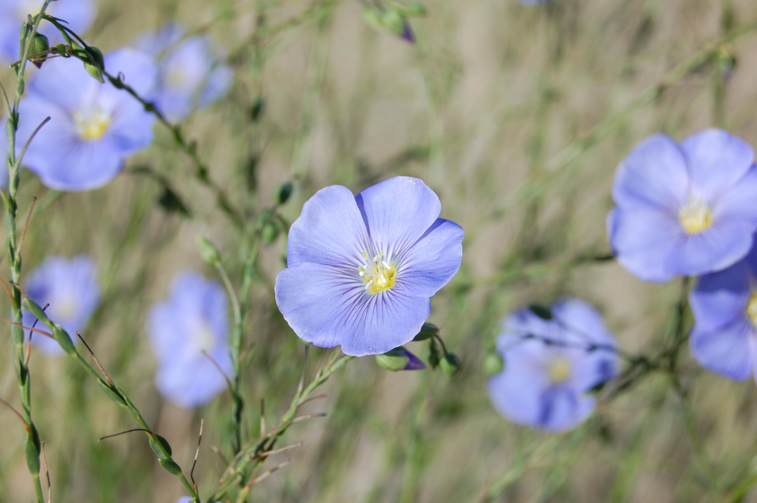 File:Linum lewisii, blue flax flower, Albuquerque.JPG ...