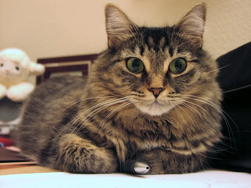 Chocolate Classic Tabby Cat With White Markings