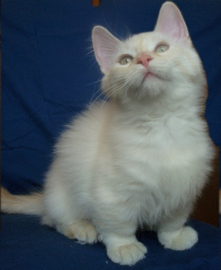 Fluffy Munchkin Cat For Sale
