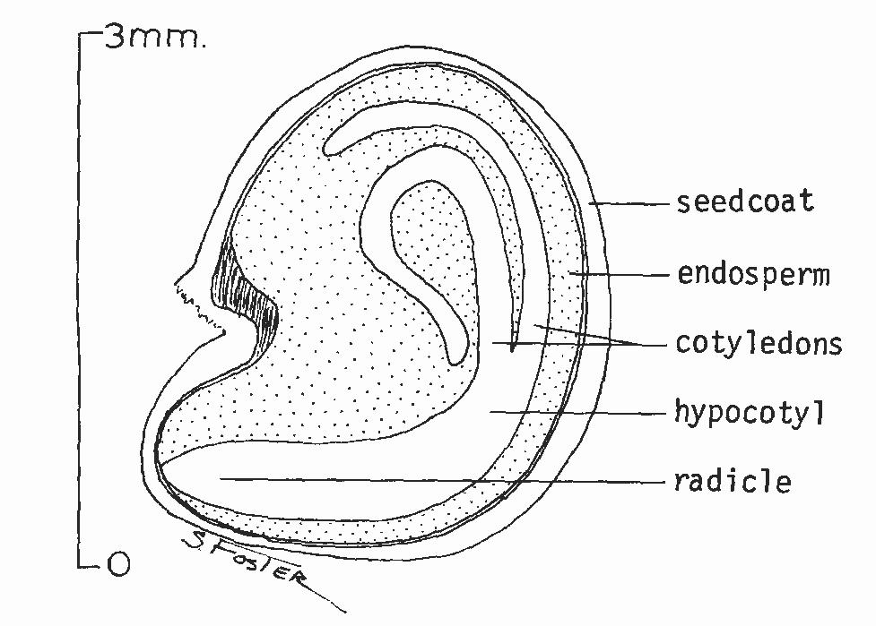 file lycium barbarum seed png