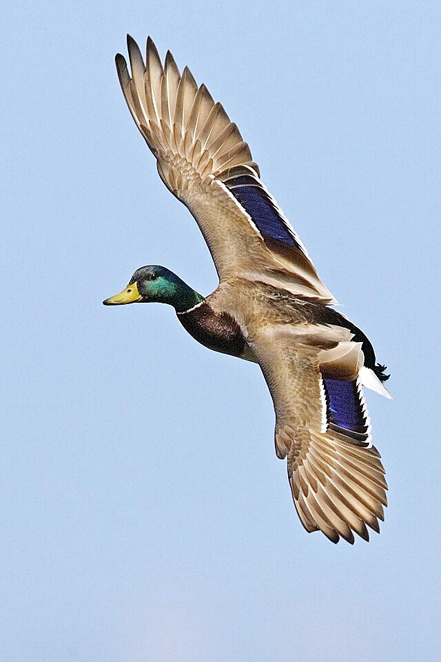 El azulón (Anas platyrhynchos) recibe su nombre por los característicos espejuelos de sus alas.