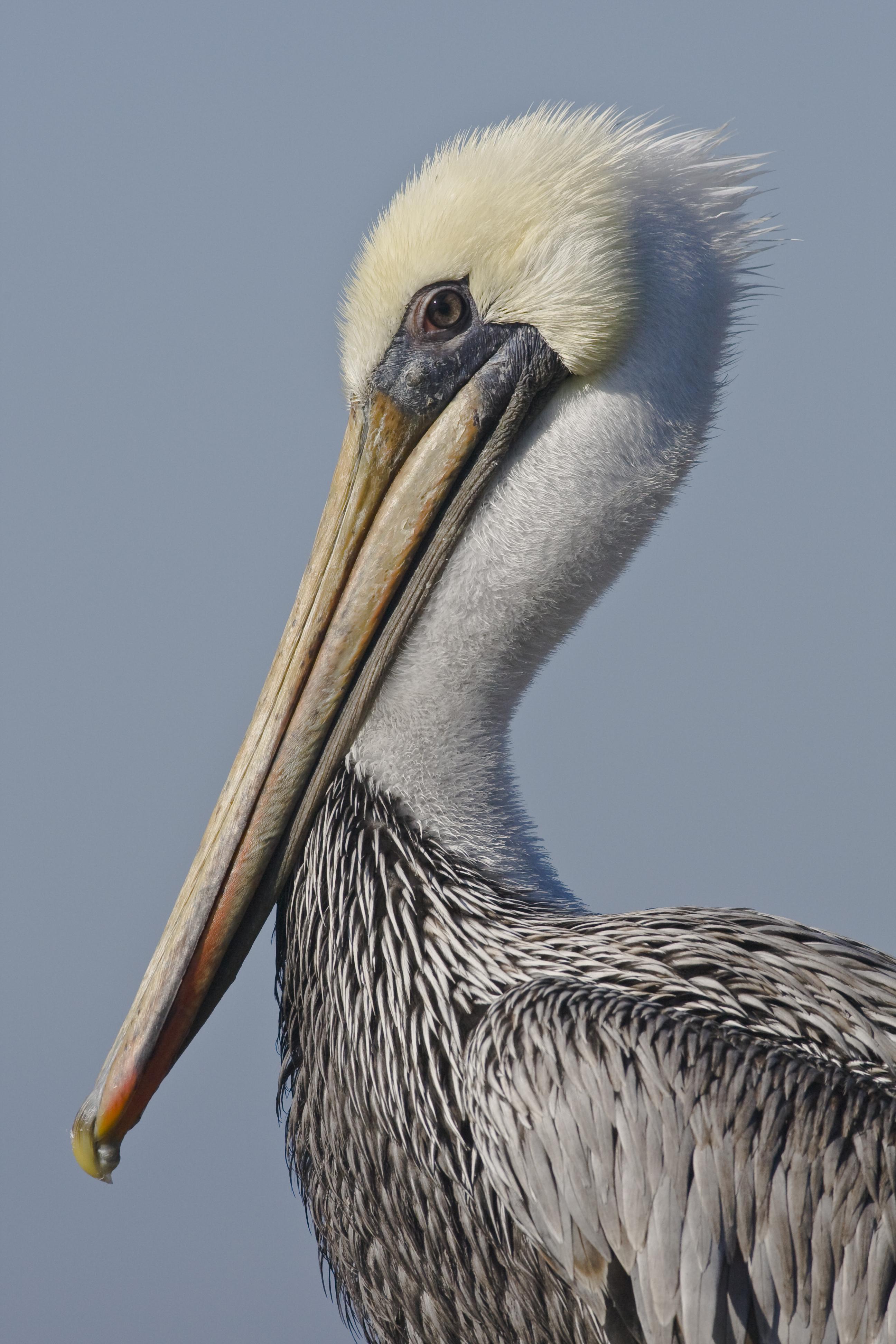 File Mikebaird Brown Pelican Pelecanus Occidentalis Bird In
