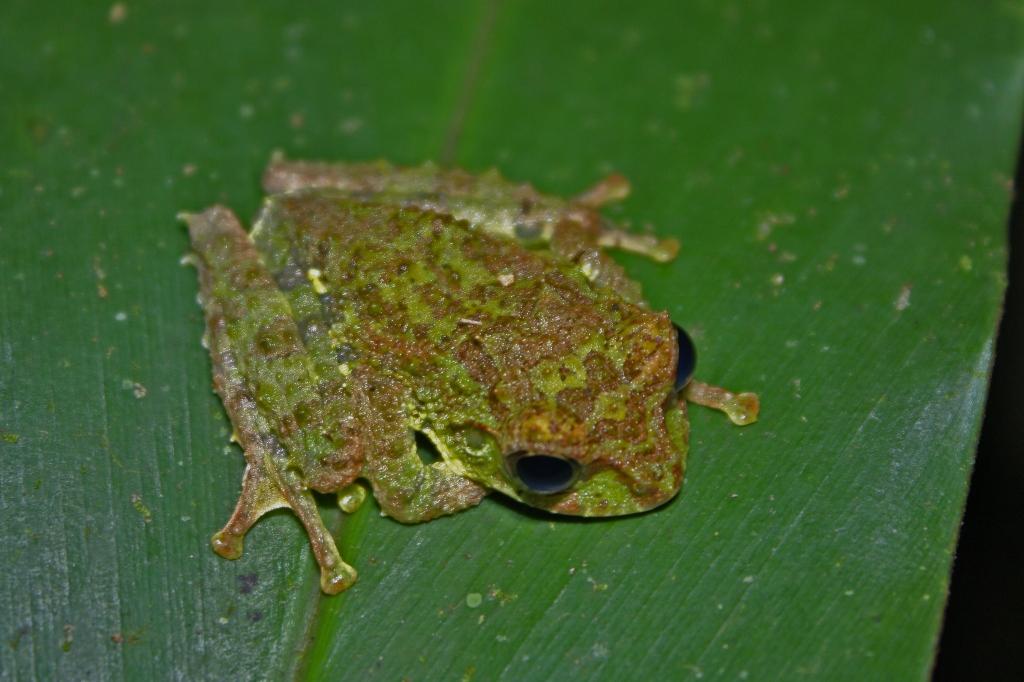 Mossy Tree Frog (Rhacophorus everetti)4.jpg