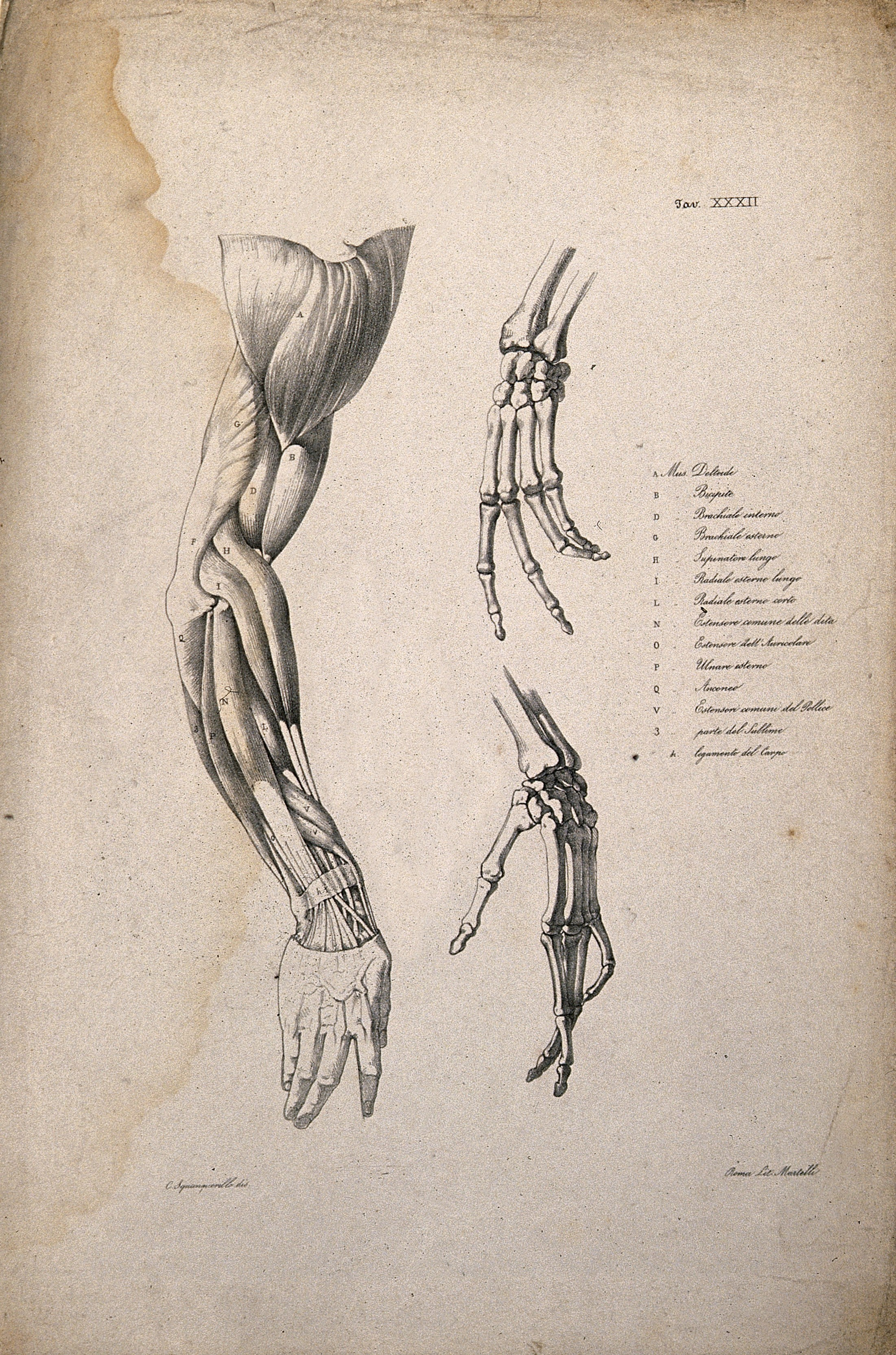 File:Muscles and bones of the shoulder, arm and hand; an écorché ...