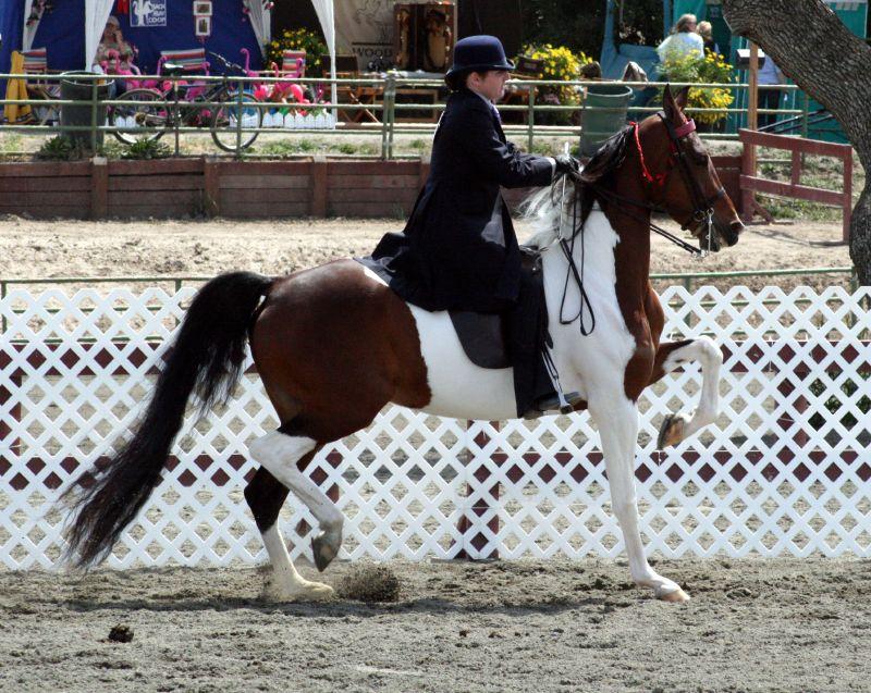 Zelter Pferd : National show horse wikipedia