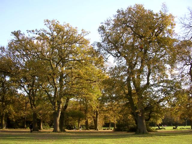 Oak trees, Southampton Common - geograph.org.uk - 24724