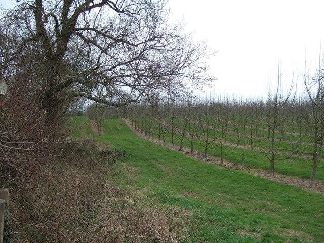 Orchard in Shobdon - geograph.org.uk - 154255