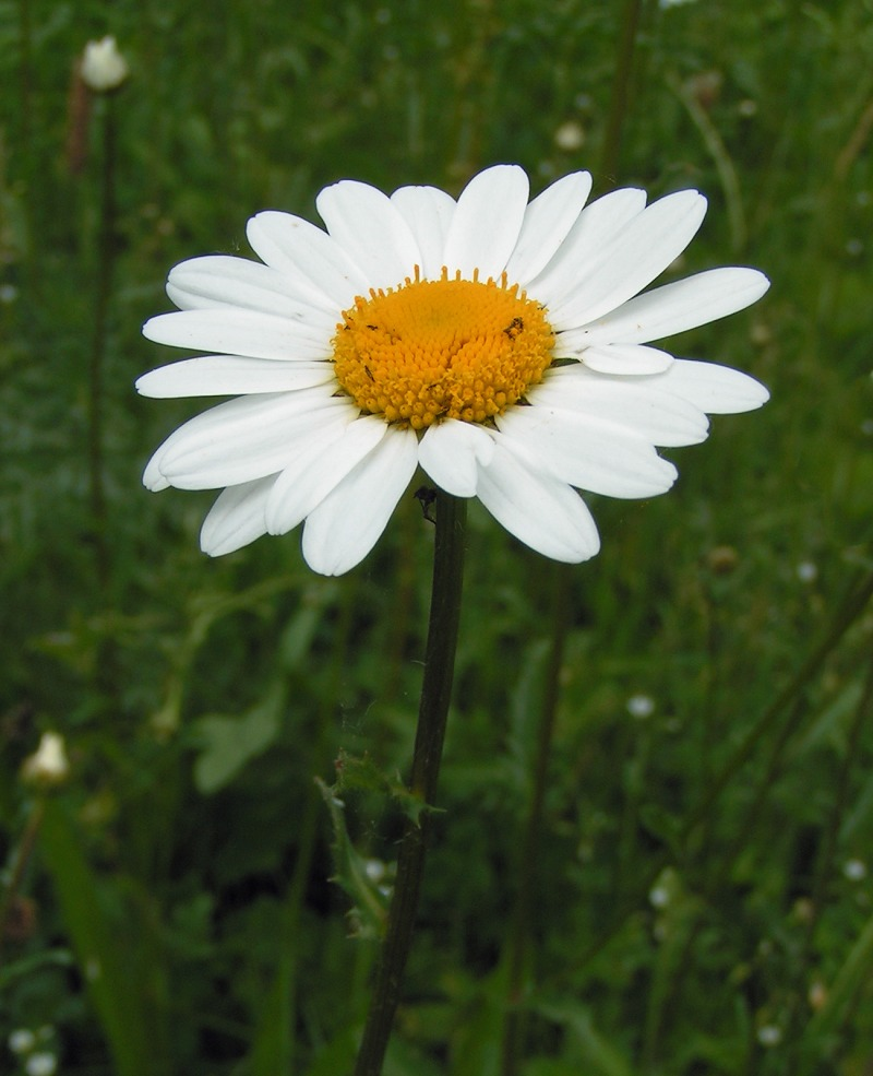 File:Oxeye daisy 800.jpg - Wikimedia Commons