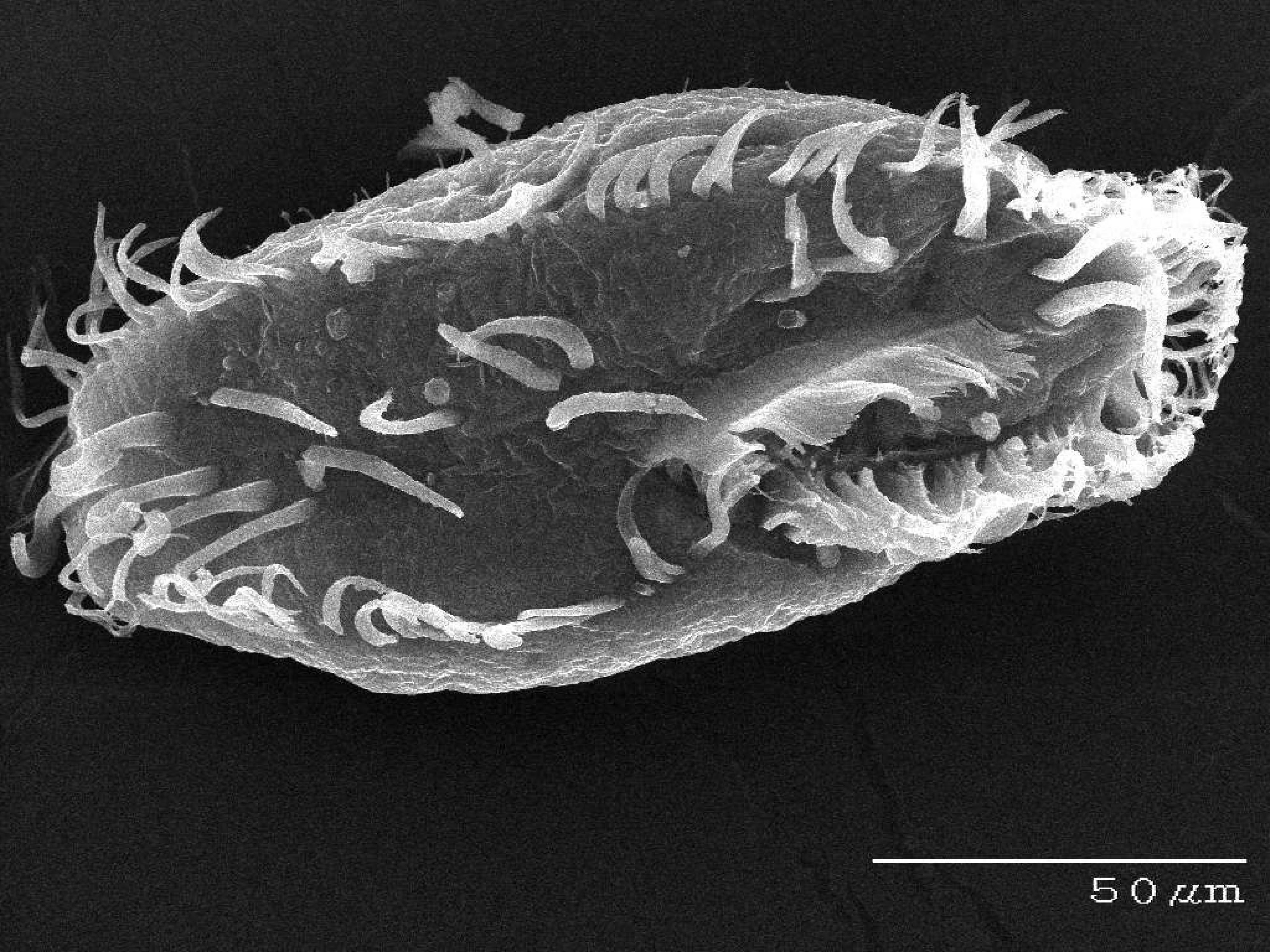 Oxytricha trifallax